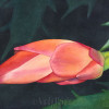 Close up Watercolor painting of a christmas cactus blooming.