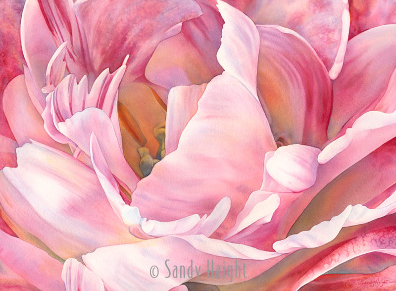 Close up view inside an Angelique double tulip bloom painted with transparent watercolor.