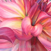 Close up view of a pink dahlia as it unfolds with twisting petals. Pink, yellow and green colors painted with transparent watercolors.