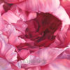 A peek deep inside the peony as it starts to open its ruffly petals. Painted in transparent watercolor on a full sheet of watercolor paper