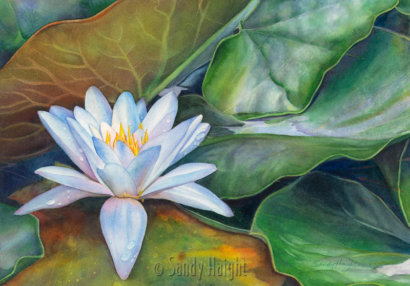 Watercolor painting of blooming water lily floating in the lily pads at Seattle's Washington Park Arboretum.
